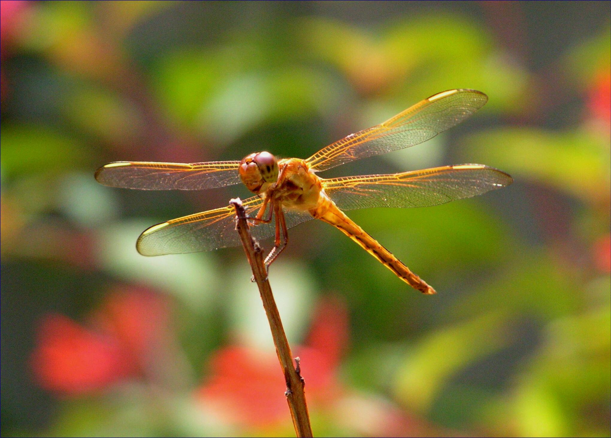 Dragonfly | Mythic Living