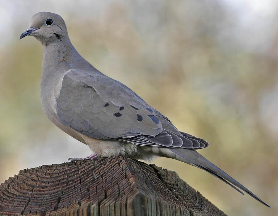 mourning dove | Mythic Living